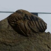Trilobite from the North Esk Inlier, Pentland Hills