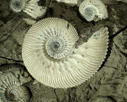 Kosmoceras ammonite from the National Museums Collection Centre. © National Museums Scotland